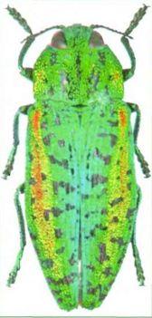 Златка радужная липовая — Р. rutilans, имаго
