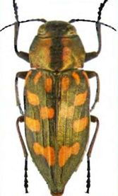 Трахиптерис пятнистая —Tracbypteris picta, имаго (ориг.)