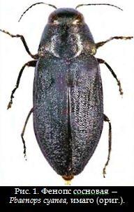Фенопс сосновая — Pbaenops cyanea, имаго (ориг.).