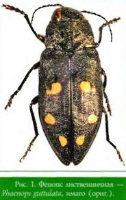 Phaenops guttulata (Gebl.) — Фенопс лиственничная (златка лиственничная, златка шеститочечная лиственничная)