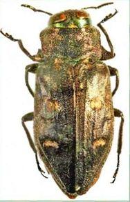 Хрисоботрис дубовая — Chrysobothris affinis (F.) имаго (ориг.)