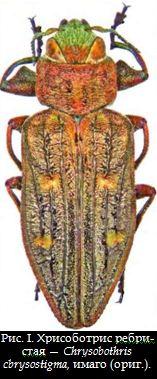 Хрисоботрис ребристая — Chrysobothris cbrysostigma, имаго (ориг.)