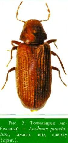 Точильщик мебельный — Anobium punctatum, имаго, вид сверху (ориг.)