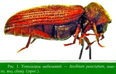 Точильщик мебельный — Anobium punctatum, имаго, вид сбоку (ориг.)