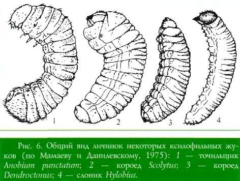 Общий вид личинок некоторых ксилофильных жуков (по Мамаеву и Данилевскому, 1975):  1 — точильщик Anobium puntatum;  2 — короед Scolytus;  3 — короед Deiidroctoiuts;  4 — слоник Hylobius.