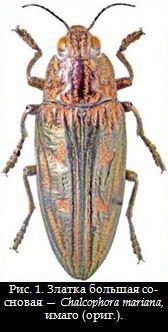 Рис. 1. Златка большая сосновая — Chalcophora mariana, имаго (ориг.).