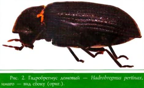 Гадробрегмус домовый имаго - вид сбоку (ориг.). — Hiulrobregmus pertiiuix