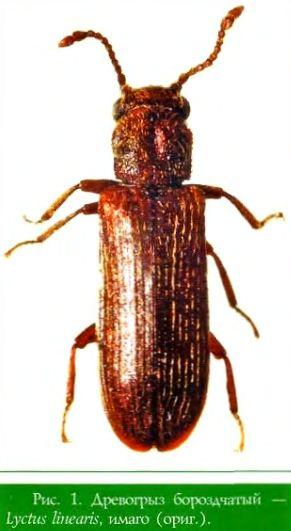Древогрыз бороздчатый — Lyctus linearis, поврежденная древесина, вид вдоль древесных волокон (ориг.)