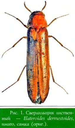 Сверлильщик лиственный — Elateroides dermestoides, самка (ориг.)