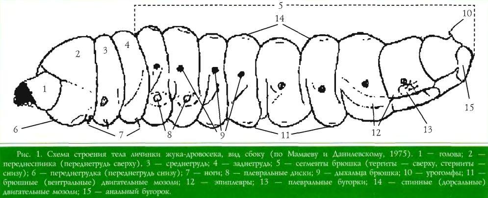 Схема строения тела личинки жука-дровосека, вид сбоку (по Мамаеву и Данилевскому, 1975). 1 — голова; 2 — переднеспинка (переднегрудь сверху). 3 — средиегрудь; 4 — заднегрудь; 5 — сегменты брюшка (тергиты — сверху, стеркиты — снизу); 6 — переднегрудка (переднегрудь снизу); 7 ноги; 8 — плевральные диски; 9 дыхальца брюшка; 10 — урогомфы; 11 брюшные (вентральные) двигательные мозоли; 12 — эпиплевры; 13 — плевральные бугорки; 14 — спинные (дорсальные) двигательные мозоли; 15 — анальный бугорок.