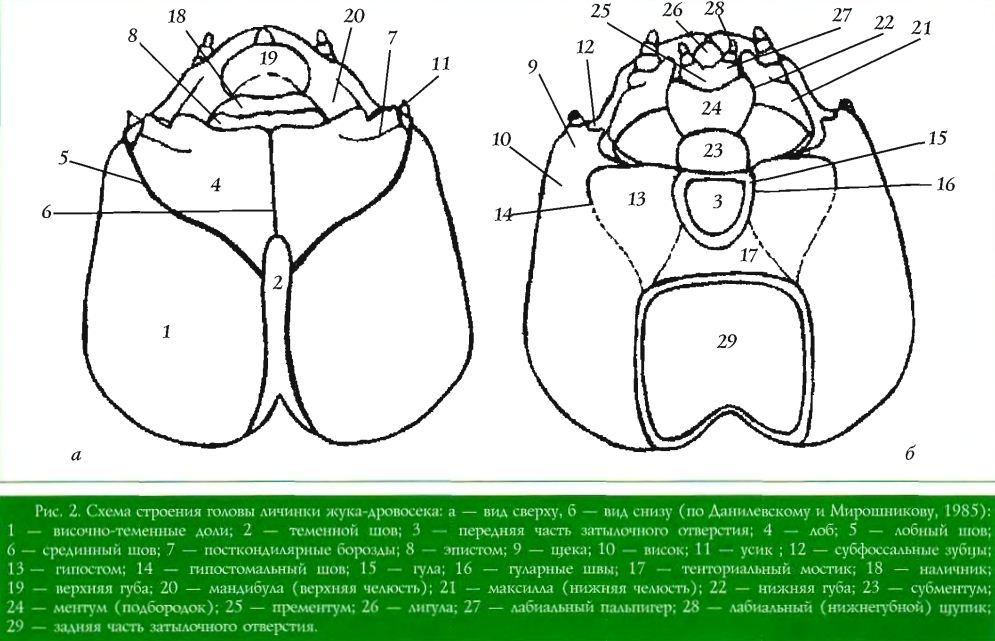 Схема строения головы личинки жука-дровосека; а — вид сверху, б — вид снизу (по Данилевскому и Мирошникову, 1985); 1 — височно-теменные доли; 2 — теменной шов; 3 — передняя часть затылочного отверстия; 4 — лоб; 5 — лобный шов; 6 — срединный шов; 7 — посткондилярные борозды; 8 — зпистом; 9 — щека; 10 — висок; 11 — усик ; 12 — субфоссалышс зубцы; 13— гипостом; 14 — гипостомальный шов; 15 — гула; 16 — гуларные швы; 17 — тенториальный мостик; 18 — наличник; 19 — верхняя губа; 20 — мандибула (верхняя челюсть); 21 — максилла (нижняя челюсть); 22 — нижняя губа; 23 — субментум; 24 — ментум (подбородок); 25 — прементум; 26 — лигула; 27 — лабиальный пальпигер; 28 — лабиальный (нижнегубной) щупик; 29 — задняя часть затылочного отверстия.