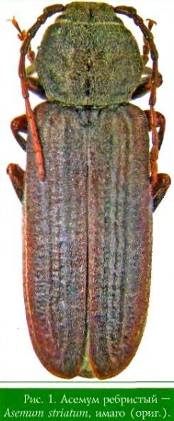 Асемум ребристый (дровосек ребристый черный, усач ребристый)