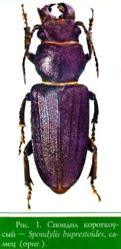 Спондил короткоусый — Spondylis huprestoides, самец (ориг.)
