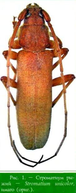 Stromatium unicolor (Oliv.) (fidvum Vill.) — Строматиум рыжий (усач рыжий домовый)