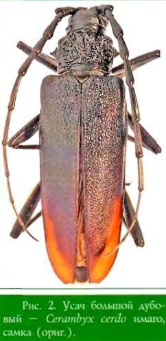 Усач большой дубовый — Cerambyx cerdo имаго, самка (ориг )