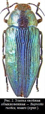 Рис. 2. Златка хвойная обыкновенная — Buprestis rustica, имаго (ориг.).
