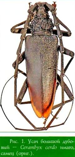 Усач большой дубовый — Cerambyx cerdo имаго, самец (ориг )