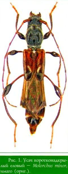 Усач коротконадкрылый еловый — Molorchus minor, имаго (ориг.)