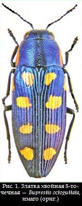 Златка хвойная 8-точечная — Buprestis octoguttata, имаго (ориг.)