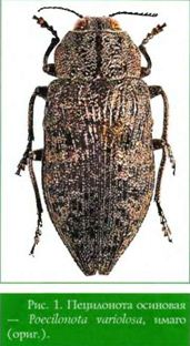 Poecilonota variolosa (Payk.) — Пецилонота осиновая (златка изменчивая осиновая, златка осиновая, златка тополевая)