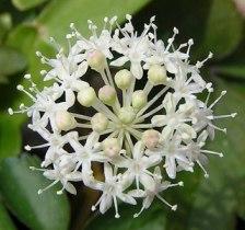 Фото цветка женьшеня